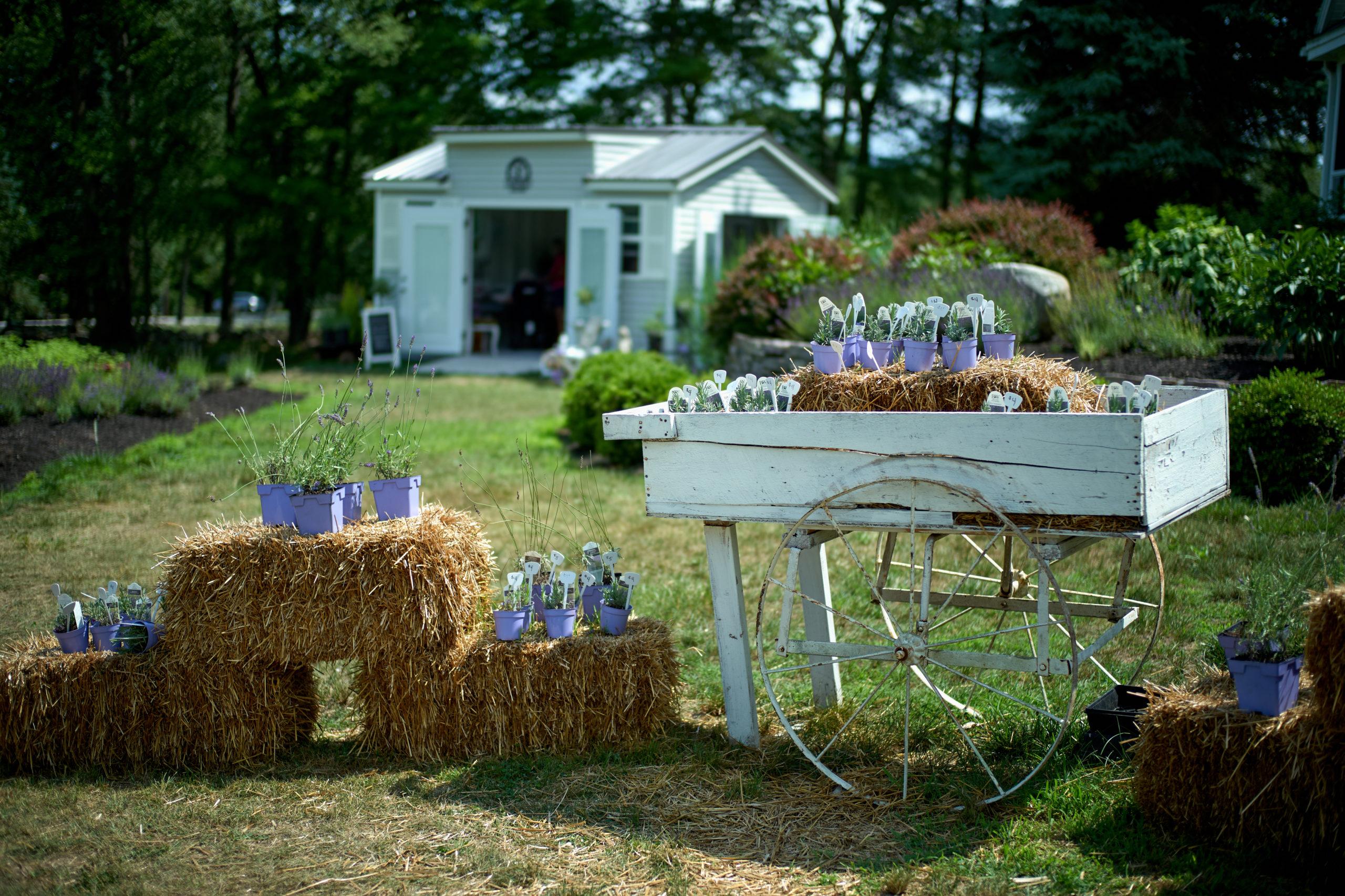 Laromy Lavender July 2020